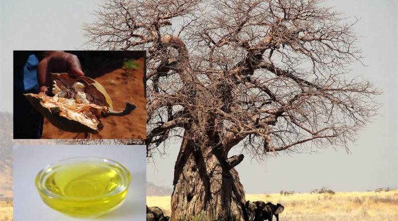 Baobab: l'albero della vita